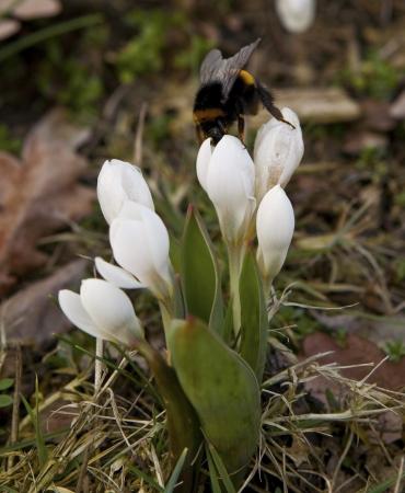iridaceae: white crocuses in the sun in spring