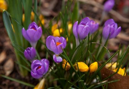 iridaceae: Violet crocuses in the sun in spring