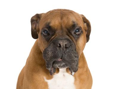 kampfhund: erwachsenen Boxer der weißen Hintergrund, Studio shot