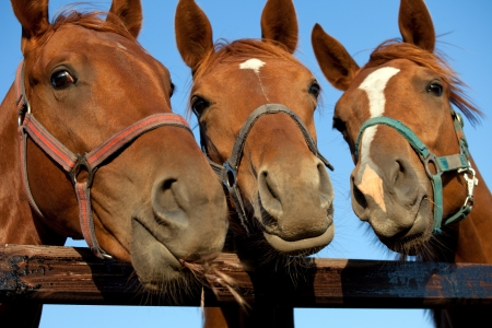 Closeup of three  heads of a horses Stock Photo