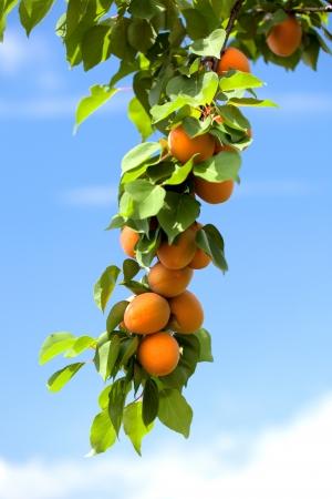 Albaricoques naranjas que crece en un árbol de albaricoque. Foto de archivo