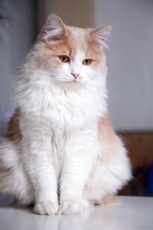 beige cat, isolated on a grey background photo