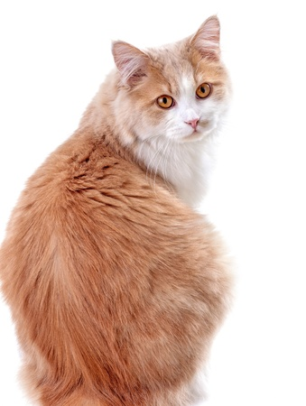 white beige cat, on a white background photo