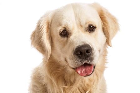 El perro perdiguero de oro, posando en estudio. Aislado en blanco Foto de archivo - 20278211