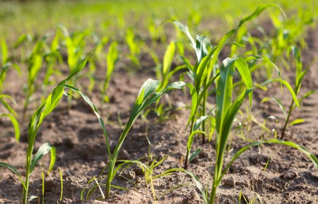 sprouting:  sprouts in a spring season, at Farm field Stock Photo