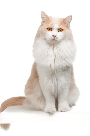 ragdoll: beige cat, isolated on a white background