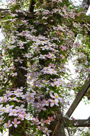 Clematis flowers on a wall photo