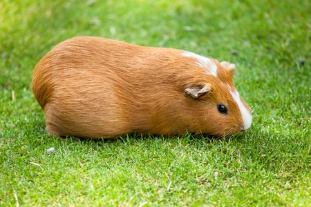 Brown and white Guinea pig eat green grass photo