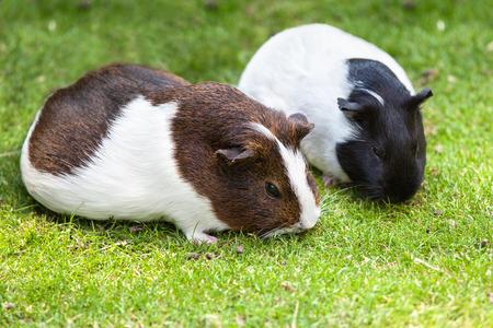 cavie: Due marrone e bianco cavia mangiare erba verde Archivio Fotografico