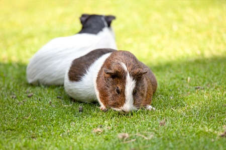 Two brown and white Guinea pig eat green grass photo
