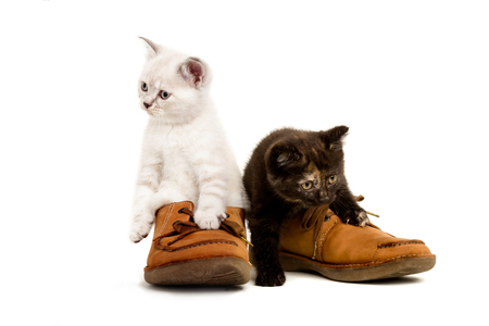 Portrait of two British Shorthair Kittens sitting in mens shoes, 8 weeks old, color point and black tortie color. Stock Photo