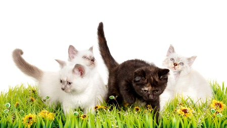british shorthair: Portrait of four British Shorthair Kittens sitting in the grass, 8 weeks old, color point and black tortie color.