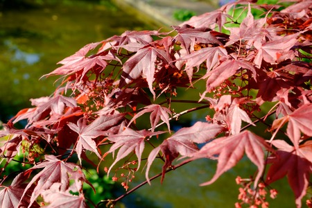 bright red japanese red ader palmatum maple