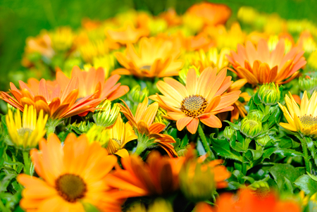 Plant of orange and yellow colored Gazania flowers Banque d'images
