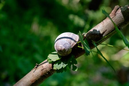 Helix pomatia also Roman snail or burgundy snail is a large air-breathing land snail.