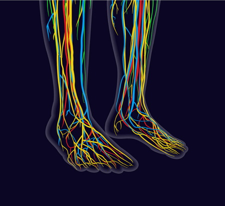 Medically accurate vector illustration of human feet, includes nervous system, veins, arteries, etc. Иллюстрация