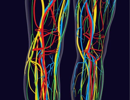 ひざと足の医学的に正確な図には、神経系、静脈、動脈、心臓などが含まれています。  イラスト・ベクター素材