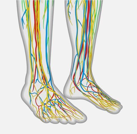 Medizinisch genaue Anatomie Illustration der menschlichen Füße Beine mit Nervensystem und Blutsystem. Pädagogische Röntgenartabbildung.