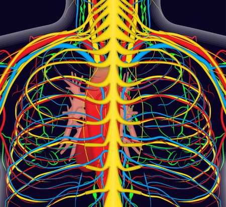Medically accurate anatomy illustration of human back chest with nervous and blood system, human heart and spine. Educational x-ray style illustration.