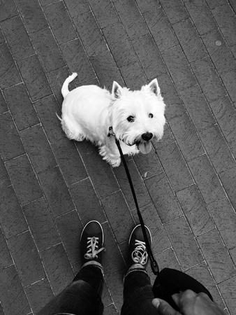 white dog: Westie