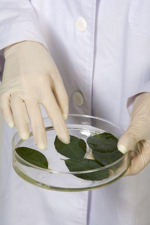 페트리 접시에 나뭇잎을 검사하는 과학자