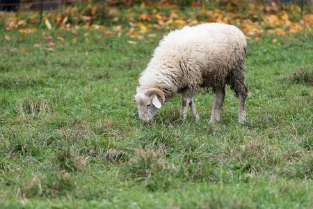sheep with horns standing on a green meadow covered with autumn leaves in the background and eating grass