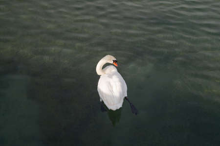 swan photographed from a bird's eye view, swimming on the water and turning his head to the side in the sunset, his leg with the fin stretched out in the water, no person during the day, love and security