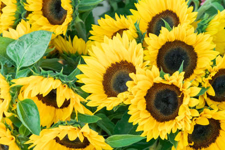beautiful yellow sunflowers with green leaves, these colors are absolutely stunning and tell us that we must protect nature and its plants, such flowers must be admired, during the day without personnel