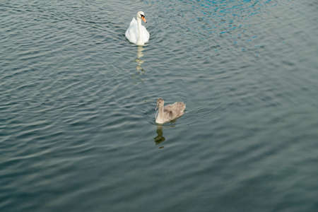 swans mother swims on open sea with her young baby, she observes exactly what happens to protect her child from a possible danger, by day without persons Imagens
