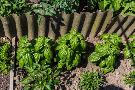 Basil Vegetable Garden Standard-Bild