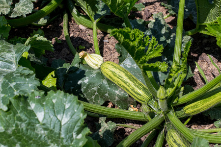 Courgette Vegetable Garden
