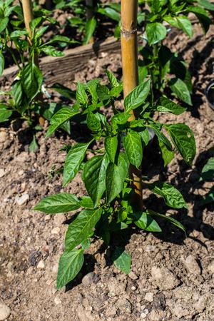 Chili Pepper Vegetable Garden