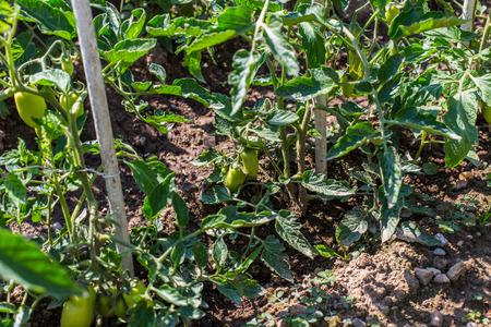 Tomato Vegetable Garden Standard-Bild