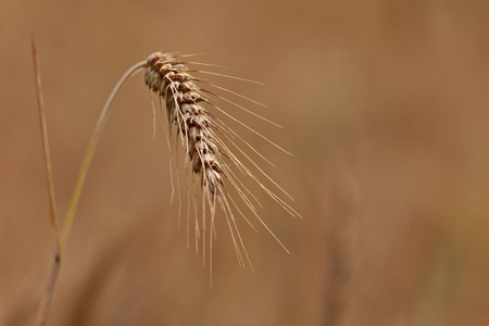 A close up of a ripe wheat ear with a golden background  Selective focus  Stock Photo - 12983096