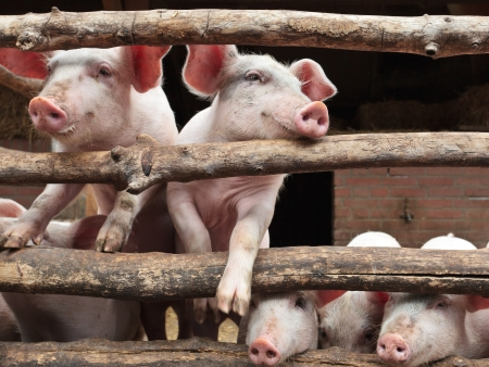 the stalls: Newborn curious pigs in a stable climbing the wooden fence