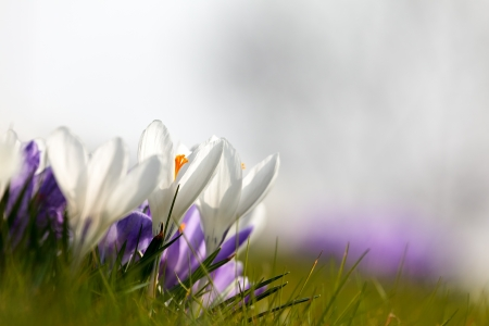 iridaceae: White and purple spring crocus with a white background with room for copyspace