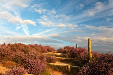 veluwe: Blooming heathland with hiking trail at the Veluwe in The Netherlands Stock Photo
