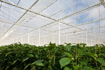 Growth of bell pepper plants inside a greenhouse in The Netherlands photo