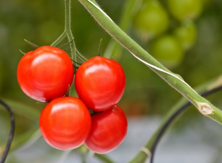 monoculture: Growth of tomato plants inside a greenhouse; closeup of ripened tomatoes