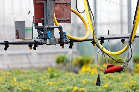 Sprinkler system inside a Dutch greenhouse irrigating plants