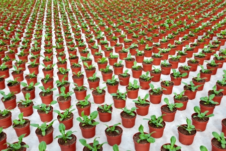 Rows of young green marigolds growing inside a greenhouse Stock Photo - 14164430