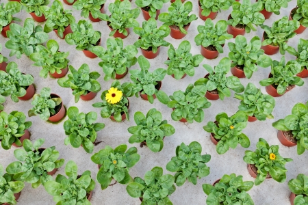 Rows of young marigolds growing inside a greenhouse; one is already blooming Stock Photo - 14164402