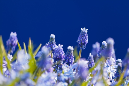 Flower field with blooming blue grape hyacinths against a blue background Stock Photo - 14348876