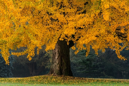 Beautiful old tree with orange leaves during fall photo