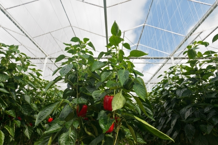 Red bell peppers growing inside a Dutch greenhouse photo