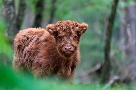 veluwe: Newborn red highland calf at the Veluwe in The Netherlands