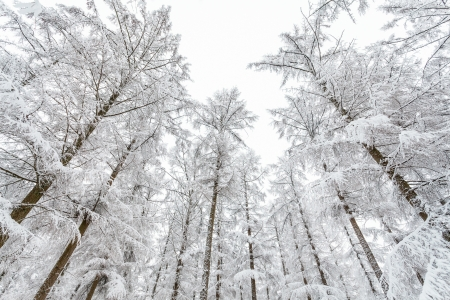 veluwe: Frozen trees in wintertime covered with hoarfrost at the Veluwe park in The Netherlands