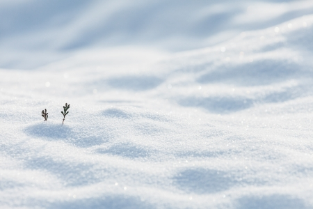 Two small pine twigs showing on the white snow in winter photo