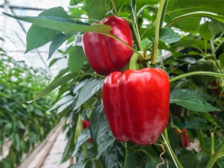 Dwa dojrza? Ych czerwone peppers, dzwon, w szklarni Zdjęcie Seryjne