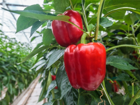 Two ripe red bell peppers in a greenhouse